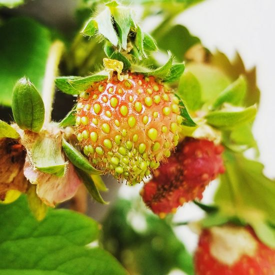 Plant Nature Green Color Leaf Outdoors Growth Freshness Food Beauty In Nature Close-up Strawberries Seeds Photography Seeds
