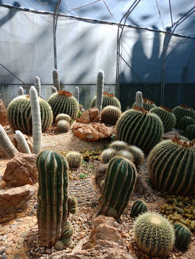Close-up of cactus in greenhouse