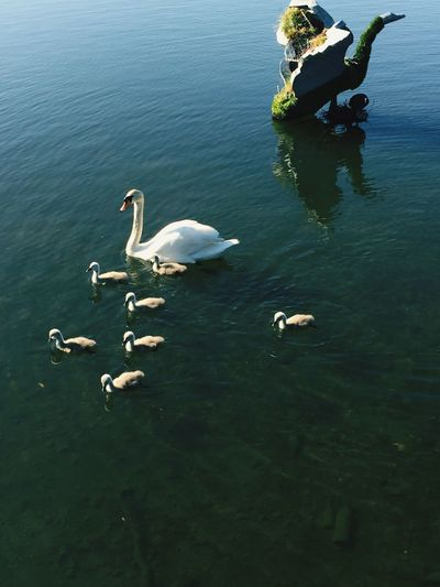 High Angle View Of Swan With Cygnets Swimming On Lake