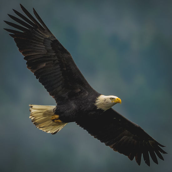 Eagle Soaring Engaged Locked Attacking Its Prey Prey Full Extension Animal Wildlife Spread Wings Bird Of Prey Flying Close-up Animal Themes Freedom Looking At Camera Eye Level Raptor Powerful Gaze Powerful Ready To Eat Raptors Mating Season Hunting Animal Outdoors