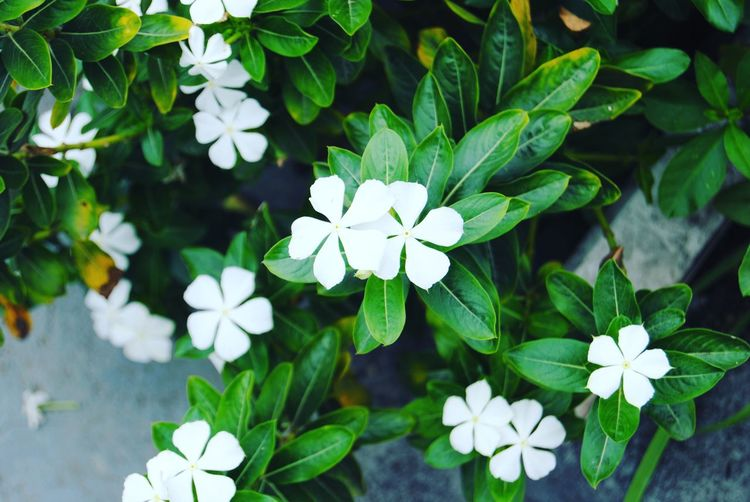 Jardim Flores Nature SauloBarros Sao Paulo - Brazil Flower Plant Leaf Growth Green Color White Color Beauty In Nature Freshness Flower Head Petal Fragility Blooming Periwinkle Outdoors No People Close-up Day EyeEmNewHere The Week On EyeEm