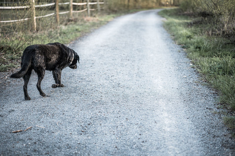 View of dog walking on road