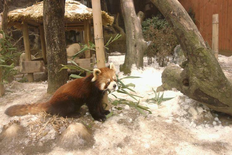 red panda! red