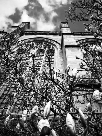 Books and Stones 9: Blooming Rise. Books and Stones be quiet blackandwhite bnw_collection spring Magnolia old black white university Abbey religion monochrome photography Books And Stones Be Quiet Blackandwhite Bnw_collection Spring Magnolia Old Black White University Abbey Religion Monochrome Depth Bottom Up Bottom Perspective Cathedral Perspective Enlightened Water Winter Sky