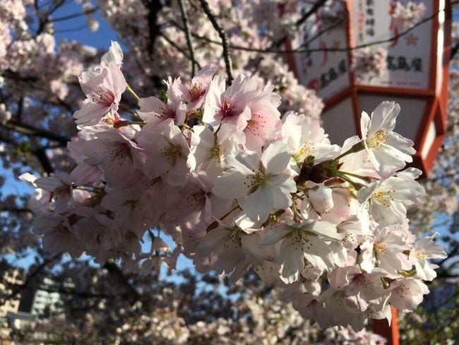 Sakura 2017 Kyoto Sakura 2017 Kyoto,japan Kyoto Sakura Cherry Blossoms