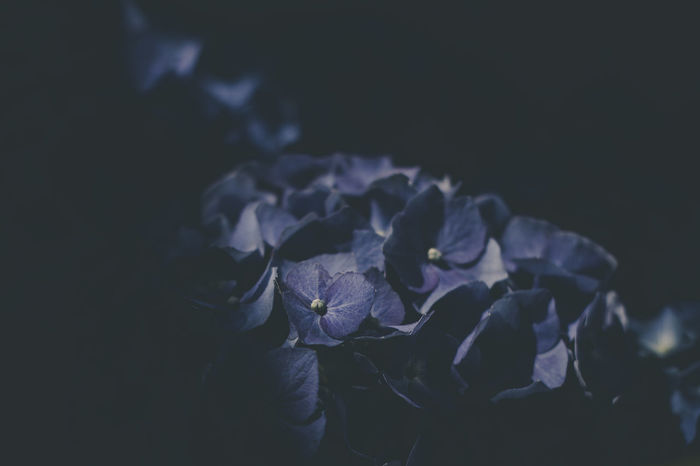 Canon EOS 600D mit Yongnuo 50mm 1.8... Shotwithlove Colors_of_day Yongnuo Tv_flowers Jacquelineschreiber Magic_marvels Eyeemoninstagram Outdoor_photograhy Nature_fantastically Dofnature CanonEOS600D Canondeutschland Explore_dof Fiftyshades_of_nature Moody Nature Canonphotography Hortensia Hortensia Flower Magic_shots Close-up Purple Blooming