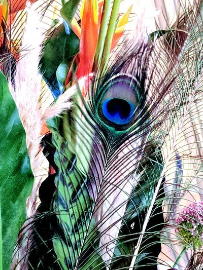 Peacock Feather Peacock Fanned Out Bird Multi Colored Full Frame Feather  Backgrounds Close-up