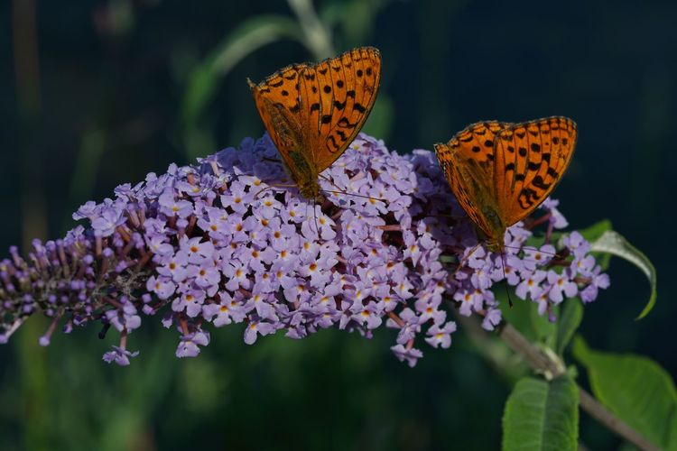Close-up of butterflies on purple flowers