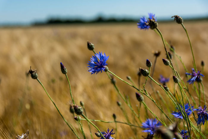 Cornflowers. Bachelor's Button Beauty In Nature Blooming Blossom Blue Botany Cornflower Cornflowers Day Field Flower Focus On Foreground Fragility Growth Hurtsickle In Bloom Nature No People Outdoors Petal Plant Selective Focus Stem Summer Summer Fields