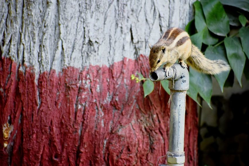 The Thirst Coloured Tree Two Colours Chipmunk Chipmunk Photography Pipe Water Dry Waiting Trying Hope Plant SSClickpix SSClickPics SSClicks Ssclickx Ssclix Wood - Material Close-up EyeEmNewHere