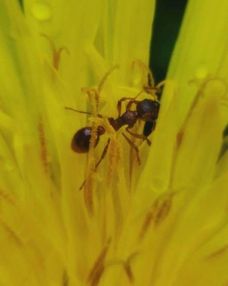 Photo Macrophotography Macro Phone Asuszenfone Nature Dandelion Ant Beautifully  Yellow Spring Water Raindrops макросъемка каплидождя одуванчик муравейнацветке муравей весна