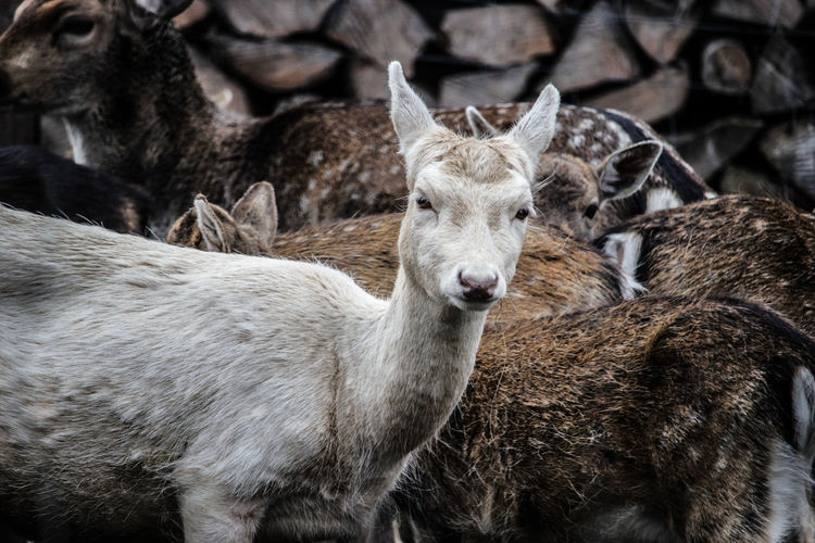 Animal Themes Beauty In Nature Day Domestic Animals Field Five Animals Livestock Looking At Camera Mammal Nature No People Outdoors Portrait Togetherness Young Animal
