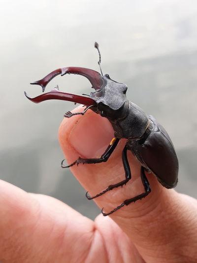 Szarvasbogár Human Hand Reptile Fingernail Close-up