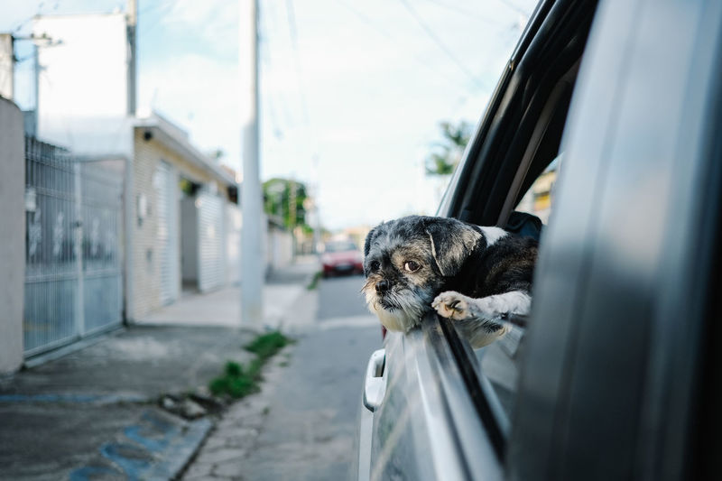 Portrait of dog peeking through car window