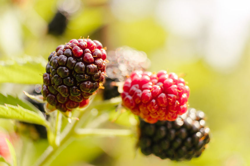 Gardening Sunlight Berry Fruit Blackberry Blackberry - Fruit Close-up Day Focus On Foreground Food Food And Drink Freshness Fruit Growth Healthy Eating Nature No People Organic Outdoors Plant Red Ripe Selective Focus Summer Sweet Wellbeing