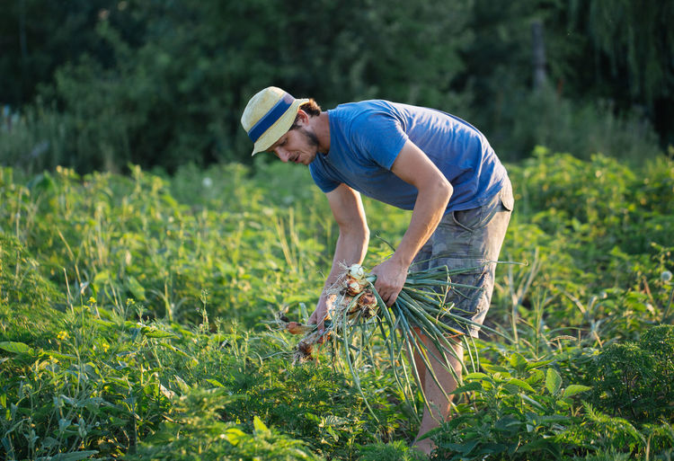 Farmer harvesting onions on organic farm