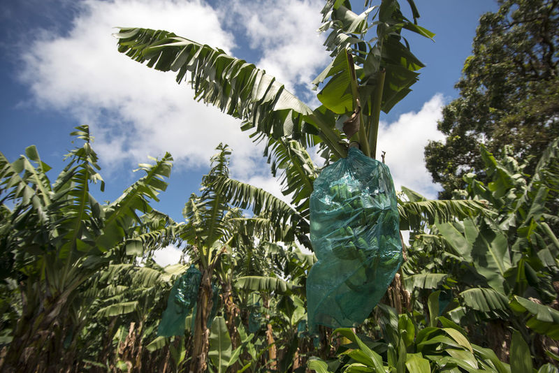 growing bananas Banana Tree Day Green Color Growth Leaf Nature Outdoors Plant Plantage Plastic Wrap Tree Tropical Climate