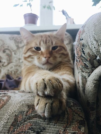 Domestic Cat Indoors  Pets Animal Themes Domestic Animals Looking At Camera Mammal One Animal Feline Portrait No People Day Close-up