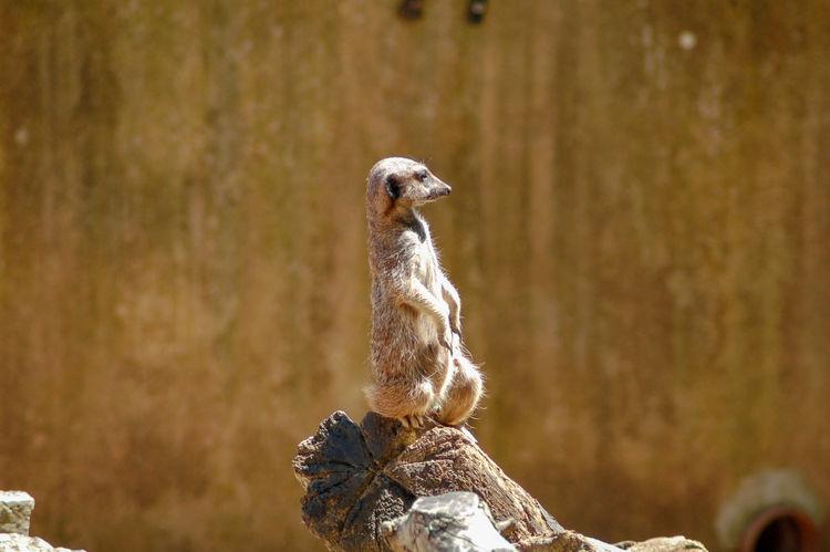Paignton Zoo Zoo Alert Alertness Animal Themes Close-up Guard Duty Mammal Meerkat Mongoose Nature No People One Animal Outdoors Sitting Up Upright Zoology