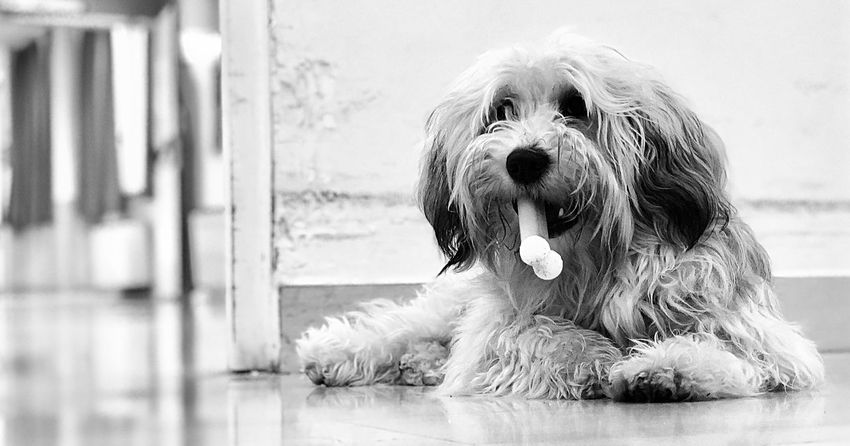 Relax Pet Therapy Dog Pets Close-up Portrait