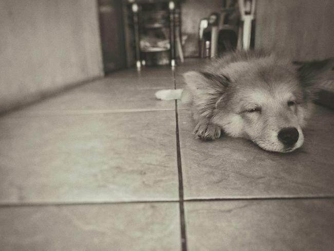 Sleepy head.. My Dog Chillaxin' My Cute Puppy Chowchowmix🐶 Cutiepatootie Taking Photos Eyeem Philippines