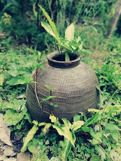 "Don't be like ""tempayan"" Tempayan Kuching Sarawak Nature Green Color Close-up Plant No People Day Growth Beauty In Nature Outdoors Tree EyeEmNewHere"