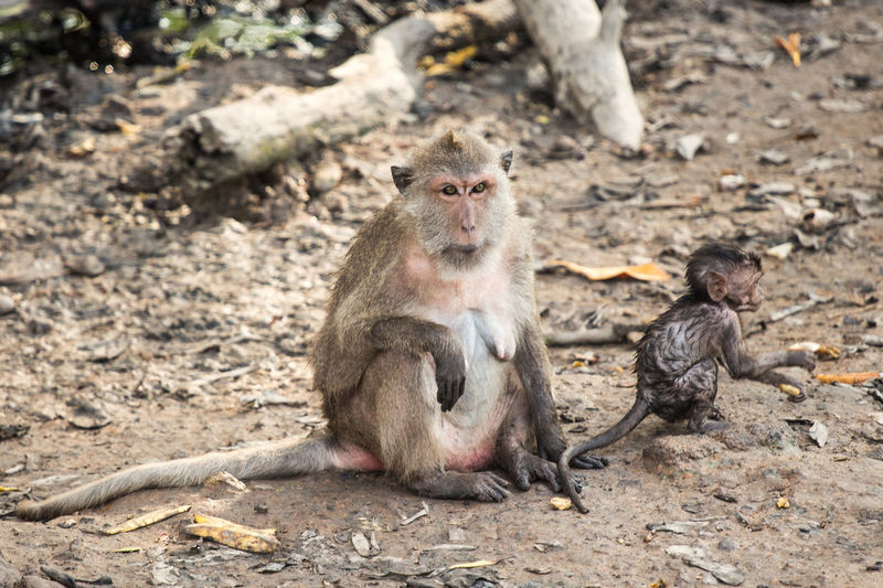Long-tailed macaque with infant sitting on field in zoo