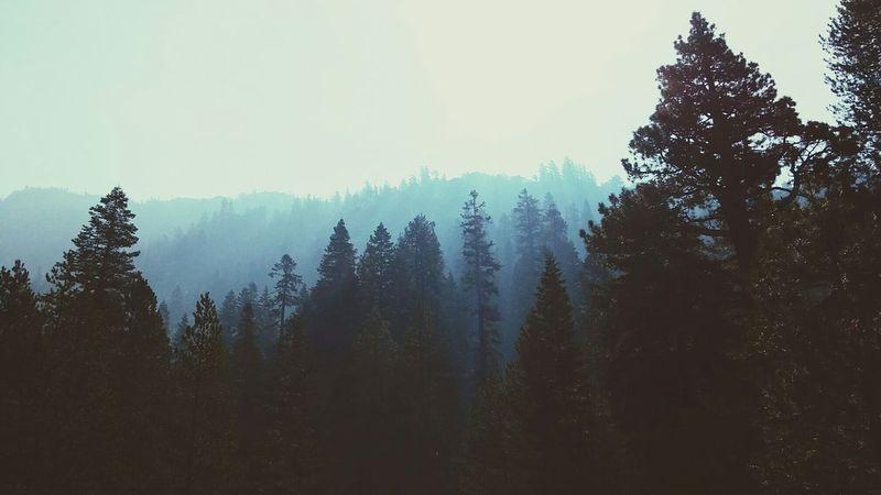Pine Treetops Sunrays Billows Mokelumne Wilderness