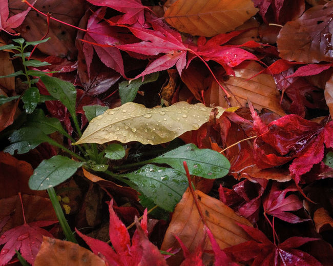 Autumn Gold Autumn Beauty In Nature Change Close-up Day Fragility Growth Leaf Leaves Maple Maple Leaf Nature No People Outdoors