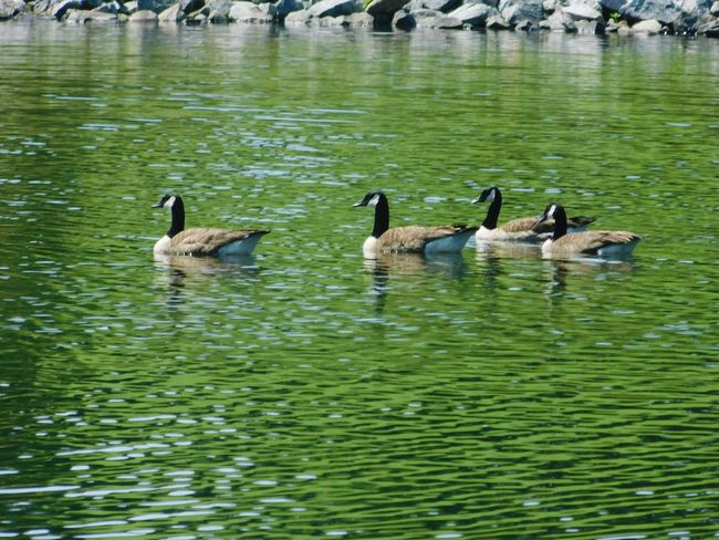 A family together. Water Animal Themes Swimming Lake Outdoors Beauty In Nature Birds_collection Birdphotography Birds Of EyeEm  Bird Photography Geese Family Geese Photography Geese At The Lake Geese In Water Geese Swimming Anatidae Beauty In Nature