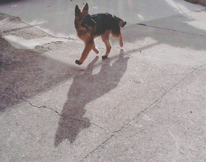 Dog❤ Pastoretedesco Babydog Willy Lovely Cucciolo