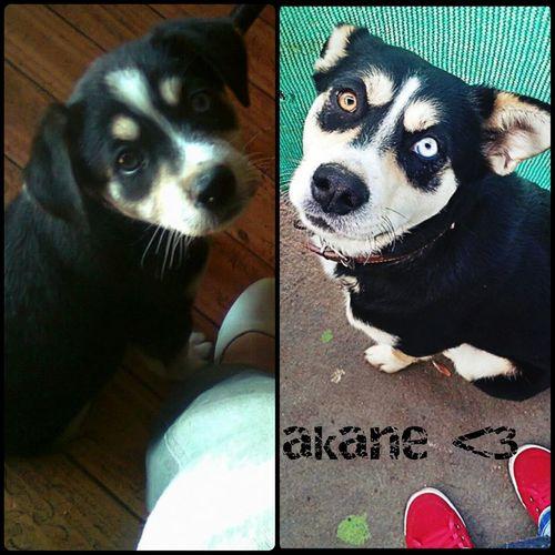 Ilovemydog Doglover Puppy❤ amo a mi Akane !! *-* <3 <3 <3