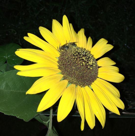 Bees Bee 🐝 Sleeping Sleeping Bees Flower Flower Head Sunflower Night Nightphotography Backyard Summer Summertime Summer Night