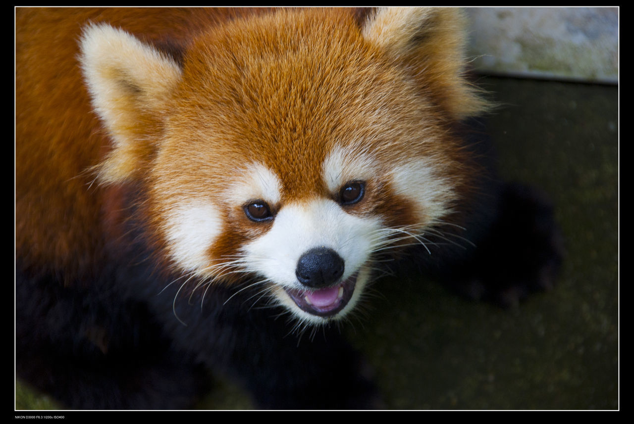 one animal, animal themes, red panda, close-up, animal head, animals in the wild, outdoors, day, no people, mammal, portrait, nature, panda - animal