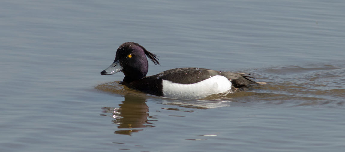 Tufted duck -