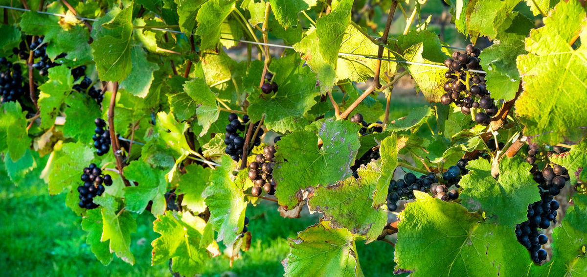 Grape Picking Pinot Noir Green Color Plant Plant Part Growth Leaf Nature Fruit Food And Drink Grape Day Beauty In Nature Vineyard Food Healthy Eating Close-up Sunlight No People Agriculture Vine Freshness Outdoors Winemaking English Vineyard