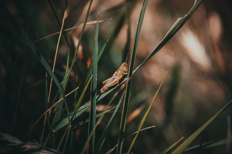Grasshopper on grass