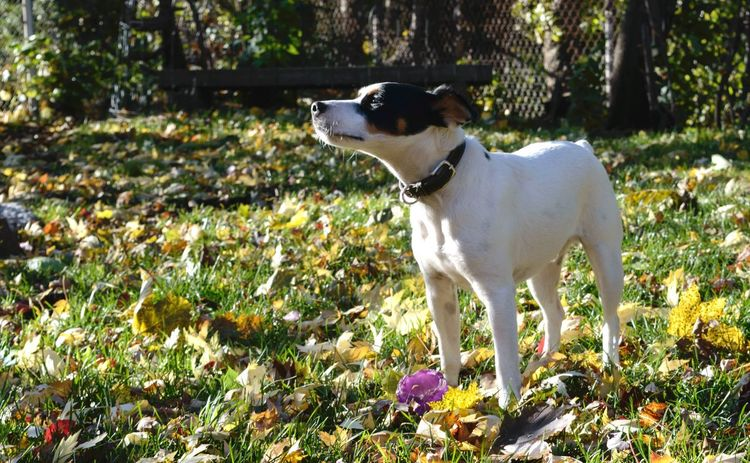 Beautiful Jack Russell Dog in sunlight and autumn leaves Domestic Animals Animal Themes Pets Mammal One Animal Standing Dog Plant No People Field Nature Outdoors Day Jack Russell Terrier Loyalty Love Sunshine Autumn Fall Beauty Black And White Dog Tranquility Pet Portraits
