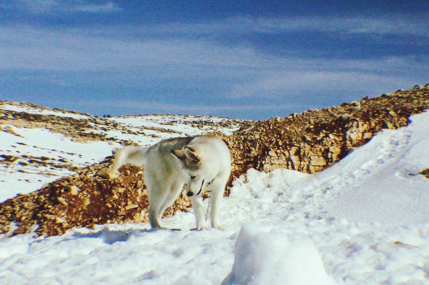 Snow ❄ Husky Siberian Husky Huskyphotography Husky Lover  Husky Love