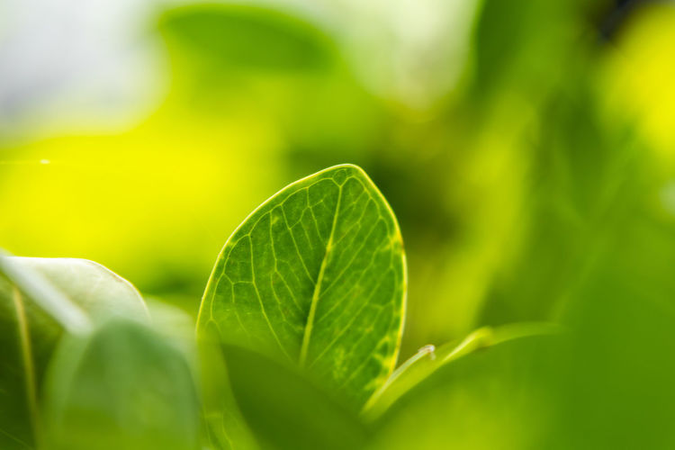 Nature Nature_collection Green Wallpaper Backgrounds Leaf Vein Growing Stem Leaves Plant Life Frond Dew Lush Foliage Chinese Herbal Medicine Stamen Focus Pistil Hibiscus Lush - Description Greenery Botany Blade Of Grass Rhododendron
