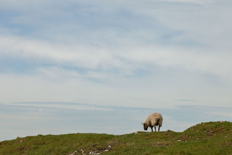 Sheep grazing on hill against sky