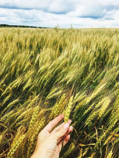 Cropped Image Of Hand Holding Wheat Crop In Field