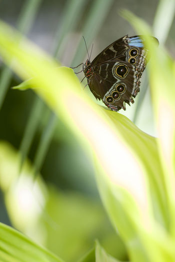 Animal Animal Themes Animal Wildlife Animal Wing Animals In The Wild Beauty In Nature Butterfly Butterfly - Insect Close-up Day Focus On Foreground Green Color Insect Invertebrate Leaf Nature No People One Animal Outdoors Plant Plant Part Selective Focus