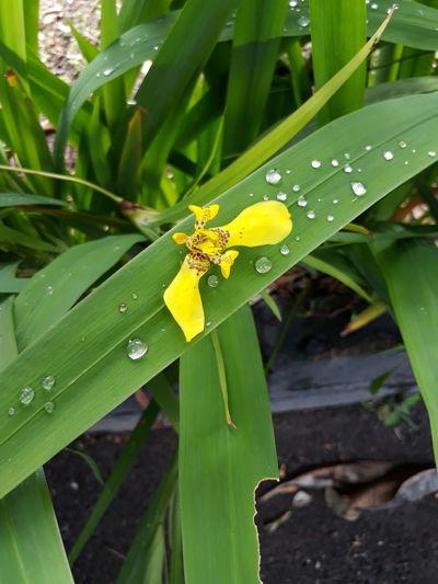 Samsung J5 Prime EyeEm Nature Lover Flowerafterrain Yellow Flower Leaf Nature Beauty In Nature Flower