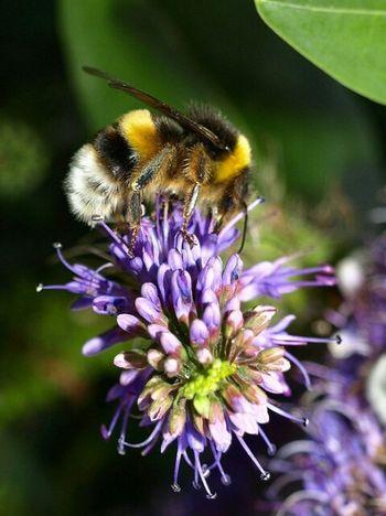 Bee Bumblebee Abejorro