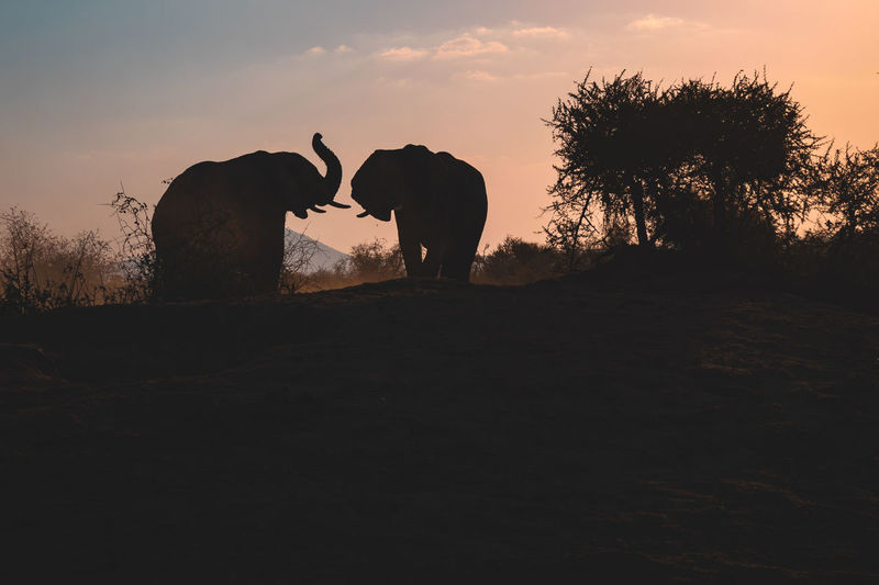 Silhouette of elephant on field against sky during sunset