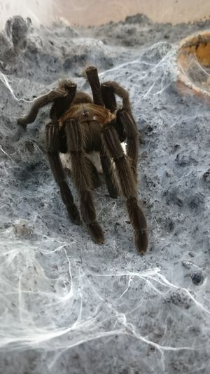 Female Tarantula Protecting Egg Sack Hunched Mother Nature Animal Themes Animal Wildlife Animals In The Wild Arachnid Brown Bugs Close-up Day Egg Sack Large Nature No People One Animal Outdoors Pets Protect Spider Tarantula Web Wild