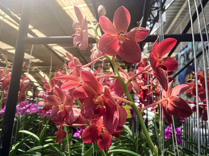 Close-up of red flowering plants in greenhouse