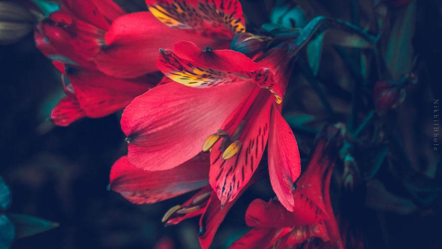 Flower Fragility Freshness Nature Beauty In Nature Springtime Vibrant Color EyeEm Flower EyeEm Nature Lover Naturelovers Flower Photography Flowers,Plants & Garden Flower Power RedFlower Color Palette
