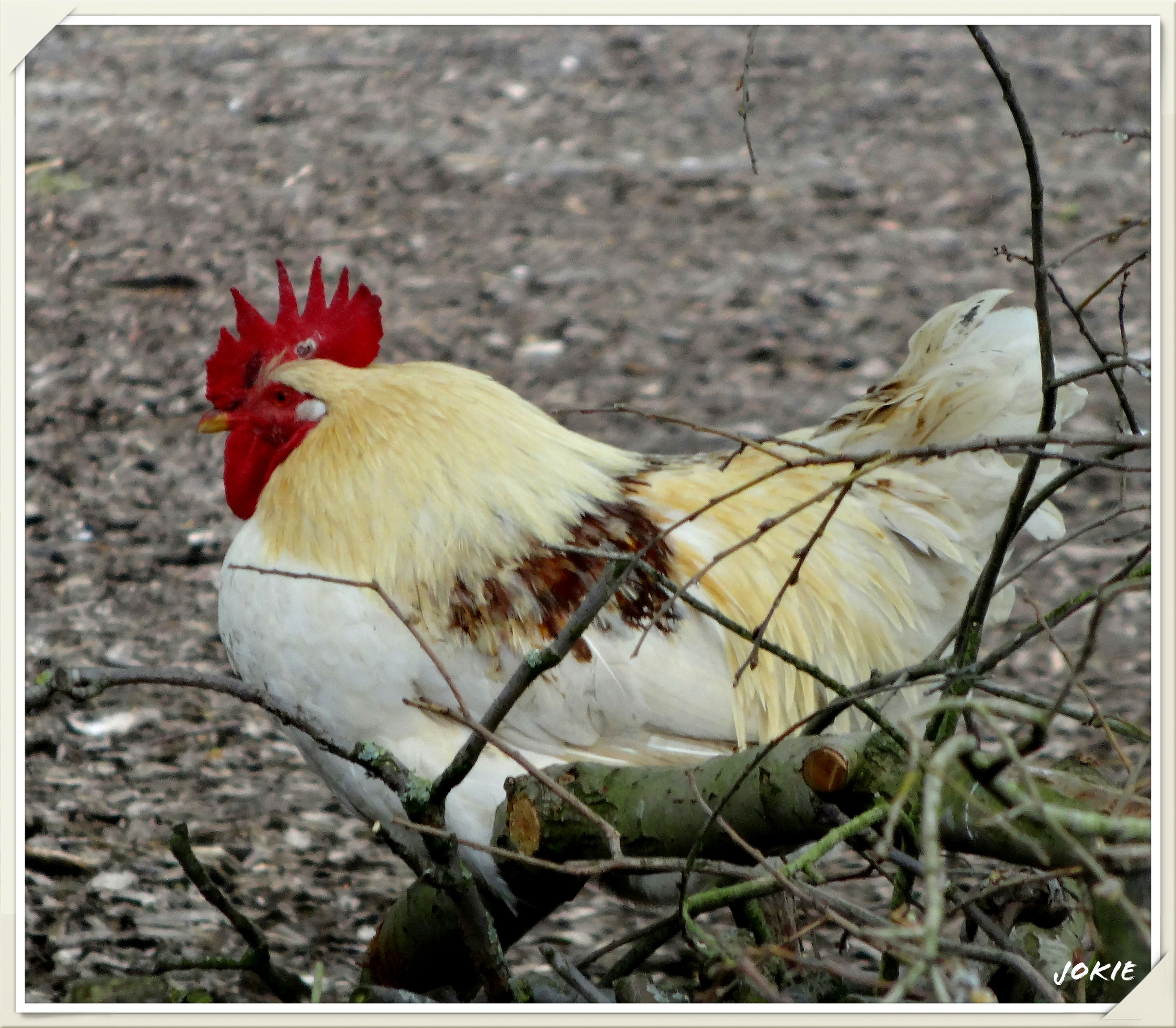 animal themes, transfer print, bird, wildlife, one animal, auto post production filter, animals in the wild, field, livestock, nature, full length, chicken - bird, grass, domestic animals, dry, no people, day, red, outdoors, close-up